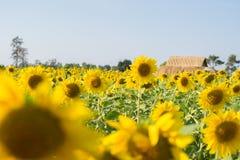 поле солнцецвета с хатой Стоковое Изображение
