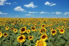 Поле солнцецвета Стоковая Фотография