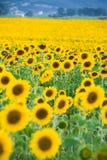 Поле солнцецвета Стоковое Изображение