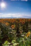 Поле солнцецвета Стоковая Фотография RF
