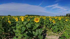 поле солнцецветов в лете Стоковые Фото