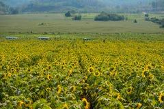Поле солнцецветов в районе Пак Chong, провинции Nakhon Ratchasima, северовосточном Таиланде Стоковые Фото