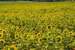Поле солнцецветов в районе Пак Chong, провинции Nakhon Ratchasima, северовосточном Таиланде Стоковое фото RF