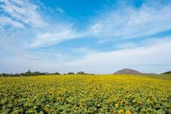 Поле солнцецветов в районе Пак Chong, провинции Nakhon Ratchasima, северовосточном Таиланде Стоковое Изображение
