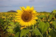 Поле солнцецветов в районе Пак Chong, провинции Nakhon Ratchasima, северовосточном Таиланде Стоковые Изображения