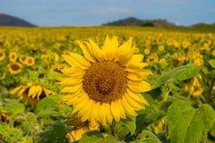 Поле солнцецветов в районе Пак Chong, провинции Nakhon Ratchasima, северовосточном Таиланде Стоковое Фото