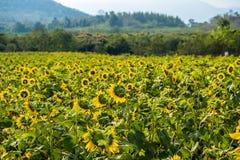 Поле солнцецветов в районе Пак Chong, провинции Nakhon Ratchasima, северовосточном Таиланде Стоковая Фотография RF