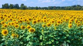 Поле солнцецветов на яркий солнечный день Солнцецветы естественная предпосылка, зацветать солнцецвета стоковые изображения rf