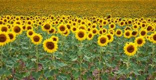 Поле солнцецветов Португалия стоковые изображения rf