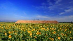 Поле солнцецветов с голубым небом, Таиландом Стоковая Фотография