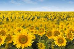 Поле солнцецветов Стоковая Фотография RF