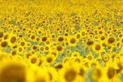 Поле солнцецветов Стоковое Изображение RF