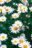 Поле стоцвета цветет граница Красивая сцена природы с bloo Стоковые Фото