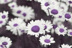 Поле стоцвета цветет граница Красивая сцена природы с bloo Стоковая Фотография RF