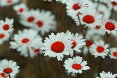 Поле стоцвета цветет граница Красивая сцена природы с bloo Стоковые Фотографии RF