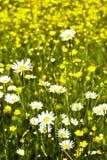 поле стоцвета Стоковая Фотография