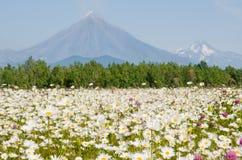 поле стоцвета Стоковая Фотография RF