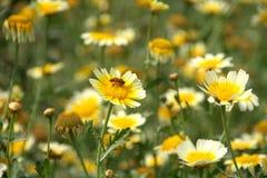 поле стоцветов Стоковое Фото