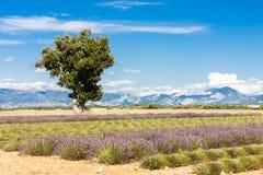 поле с деревом, Плато de Valensole лаванды, Провансаль, Fran стоковое фото rf