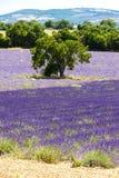 поле с деревом, Провансаль лаванды, Франция стоковые изображения