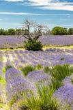 поле с деревом, Провансаль лаванды, Франция стоковое изображение rf