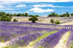 поле с деревьями, Провансаль лаванды, Франция стоковая фотография rf
