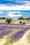 поле с деревьями, Провансаль лаванды, Франция стоковое фото rf