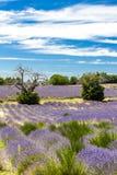 поле с деревьями, Провансаль лаванды, Франция стоковое изображение