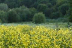 Поле с желтые orientalis bunias на предпосылке зеленого леса стоковые изображения