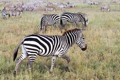 Поле с зебрами в Serengeti, Танзании Стоковое Изображение RF