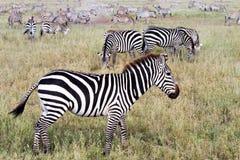 Поле с зебрами в Serengeti, Танзании Стоковые Изображения