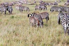 Поле с зебрами в Serengeti, Танзании Стоковое фото RF