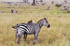 Поле с зебрами в Serengeti, Танзании Стоковое Фото