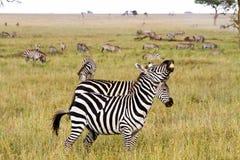 Поле с зебрами в Serengeti, Танзании Стоковые Изображения RF