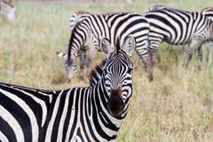 Поле с зебрами в Serengeti, Танзании Стоковая Фотография