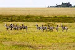 Поле с зебрами в Serengeti, Танзании Стоковые Фотографии RF