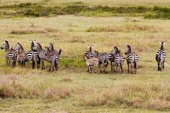 Поле с зебрами в Serengeti, Танзании Стоковое Изображение