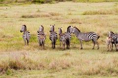 Поле с зебрами в Serengeti, Танзании Стоковая Фотография RF