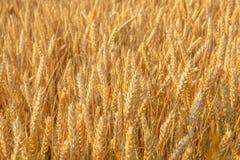 Поле с зрелой пшеницей Стоковая Фотография