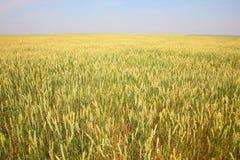 Поле с пшеницей Стоковая Фотография RF