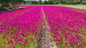 Поле с розовыми цветками в Голландии акции видеоматериалы