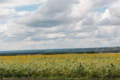 Поле с солнцецветом Стоковые Изображения RF