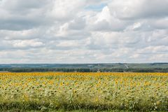 Поле с солнцецветом Стоковая Фотография