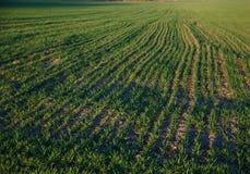 Поле с травой фуража в весеннем времени Стоковое Изображение