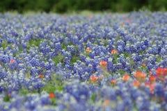 Поле Техаса bluebonnets стоковые фотографии rf