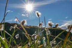 Поле травы хлопка в Исландии стоковая фотография