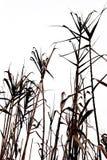 поле тросточки Стоковые Фото