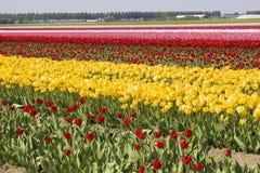 Поле тюльпана в Нидерландах Стоковая Фотография