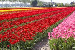Поле тюльпана в Нидерландах Стоковые Изображения RF