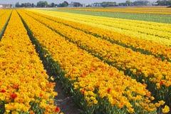 Поле тюльпана в Нидерландах Стоковое фото RF